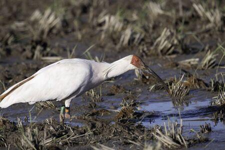 Japanese crested ibis in Sado Island Stock Photo