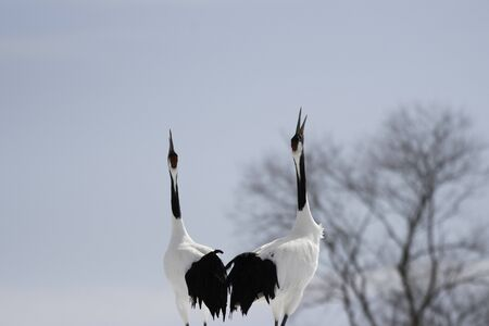Red-Crowned Cranes Whooping in Tsurui Village