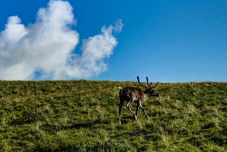Caribou looking for food in Denali National Park in Alaska Unite Stock Photo