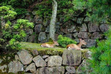 Deer in Miyajima Island Hiroshima Japan