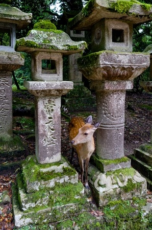 Deer between ancient gravestones in Nara Japan Stock Photo