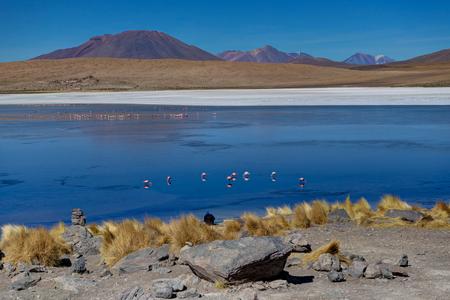 Pink Flamingos at Laguna Canapa Altiplano Bolivia Desert