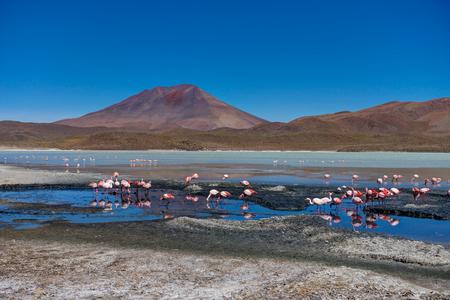 Pink Flamingos Laguna Hedionda Altiplano Bolivia
