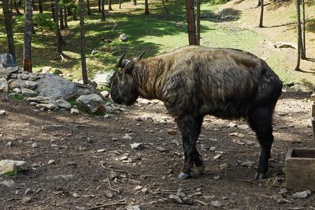 Takin National Animal Bhutan