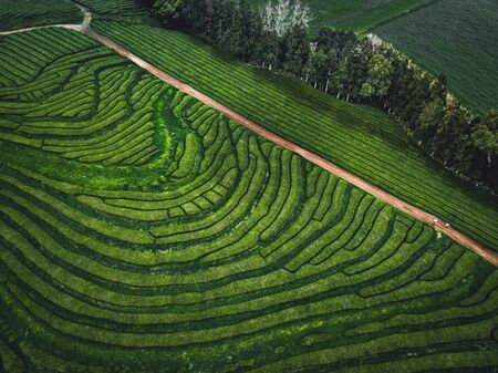Green tea terrace plantation Gorreana in fog from above, drone shot, Azores islands. The oldest, and currently only, tea plantation in Europe. Bird eye view, aerial panoramic view. Stock Photo