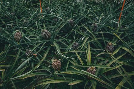 Rows of pineapple plant growing in plantation, Azores, Portugal. Pineapples A Arruda. pineapple harvest greenhouse Imagens - 127424723