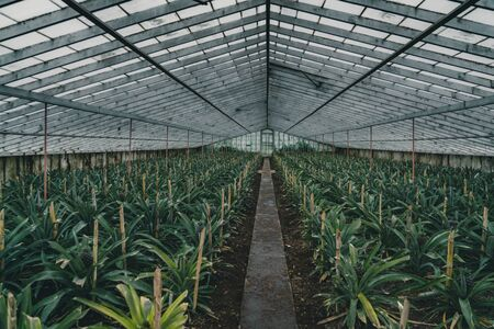 Rows of pineapple plant growing in plantation, Azores, Portugal. Pineapples A Arruda. pineapple harvest greenhouse Imagens - 127424732