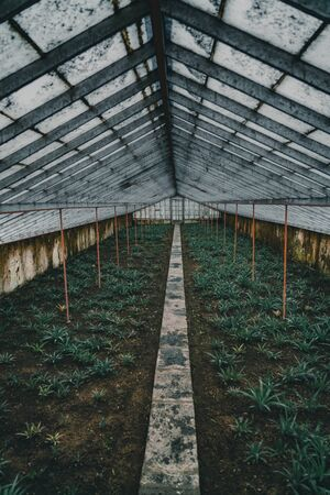 Rows of pineapple plant growing in plantation, Azores, Portugal. Pineapples A Arruda. pineapple harvest greenhouse