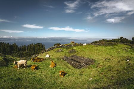 Cows near Straight EN3 longitudinal road northeast of Mount Pico and the silhouette of the Mount Pico along , Pico island, Azores, Portugal. Photo taken in Azores, Portugal. 版權商用圖片
