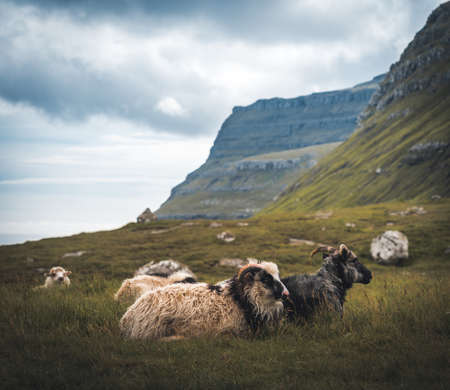 sheep animals with wool standing on hill or mountain top with green grass and stones on blue cloudy sky background in Faroe Islands