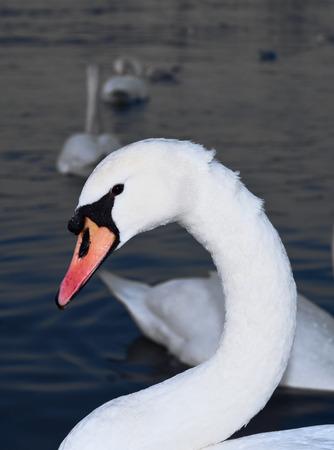 Swan Banco de Imagens