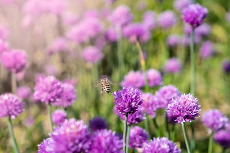chives in nature wit bees