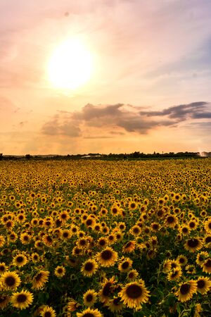 Beautiful Sunflowers in a sunflowerfield with nice colors and bokeh. High quality photo Stockfoto