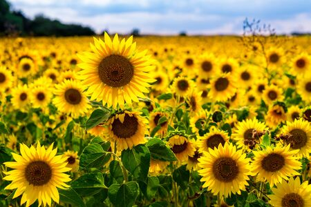 Beautiful Sunflowers in a sunflowerfield with nice colors and bokeh. High quality photo Archivio Fotografico
