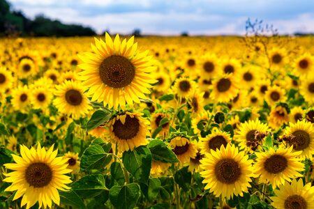 De beaux tournesols dans un champ de tournesols avec de belles couleurs et un bokeh. photo de haute qualité Banque d'images