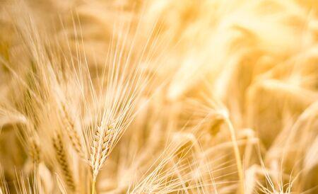 L'orge sur les terres agricoles avec la lumière du soleil en arrière-plan. Photo de haute qualité avec un espace pour le texte