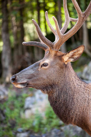 Side view of a stag