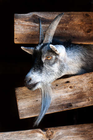 Goat sticking its head outside a wooden fence