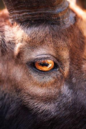 Close-up of a goats eye