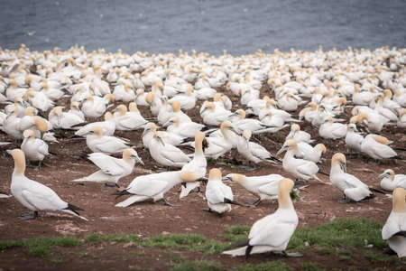 Colony of northern gannets in Canada 免版税图像