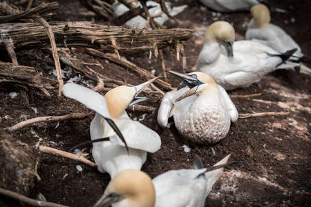 Northern gannets protecting their nest 免版税图像