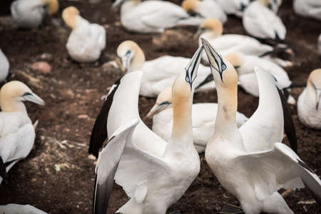 Close-up of a couple of northern gannets greeting each other