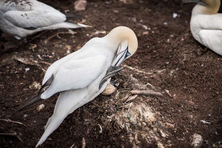 One northern gannet incubating an egg