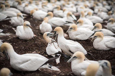 One northern gannet bringing branches to build the nest