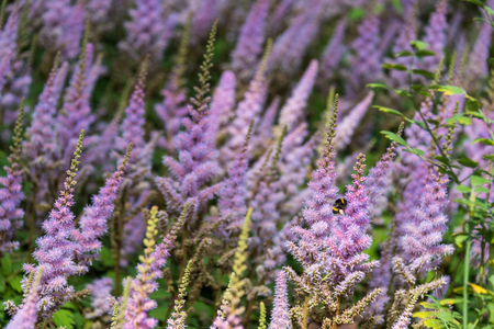 Lavender field Standard-Bild