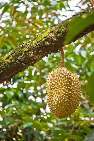Fresh Durian on tree in moist orchard photo