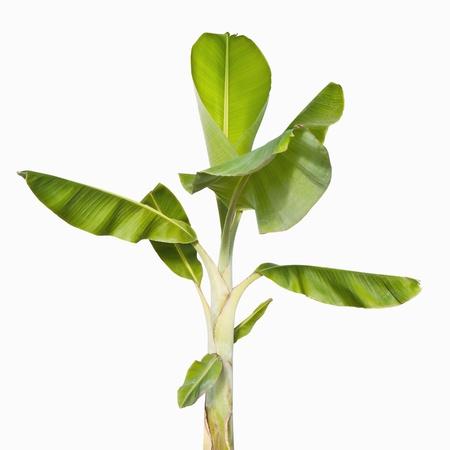 若い孤立白地に緑のバナナの木