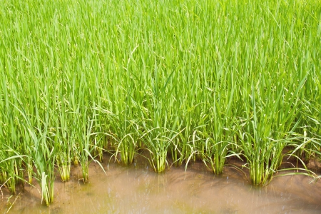 Close up of thrive green rice in paddy field photo