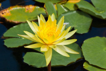 close up  of yellow lotus in gargen photo