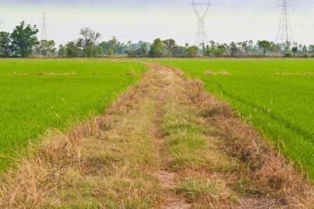 Rice field way in the green field photo