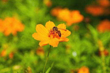 Big bee on pollen of yellow cosmos flower photo