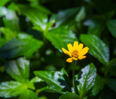 Close up of Yellow Climbing Wedelia, flower Stock Photo