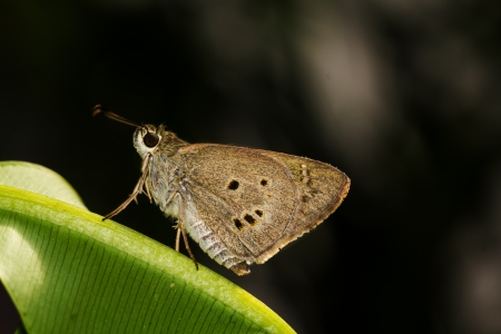 hyperantus: Ringlet butterfly on green leaf and black background