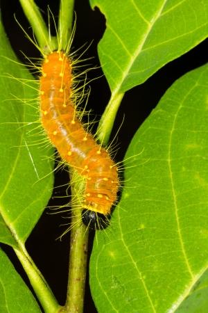 environmen: Orange caterpillar hanging on branch and leaf