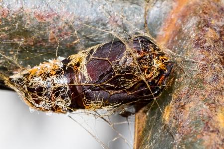 carcass: Carcass of hairy chrysalis hanging on metal Stock Photo
