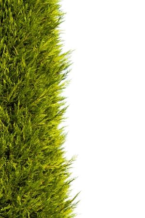 Pine tree in white background for background