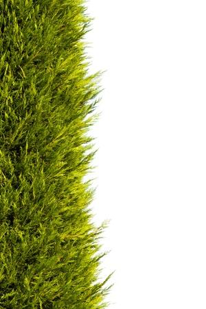 evergreen branch: �rbol de pino en el fondo blanco para el fondo