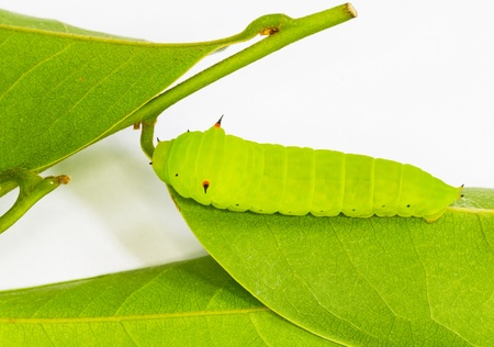 green jay: Luz verde Tailed Jay Oruga sobre hojas para ser pupa Foto de archivo