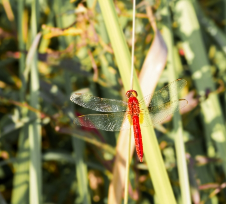 dropwing: Red common tiger dragonfly on leaf