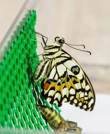 New born of lime butterfly and pupa hanging on lattice photo