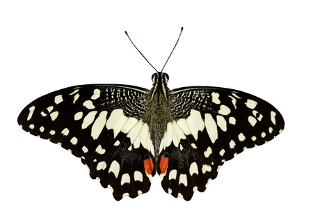 Top of pen wings Lime butterfly in white background Stock Photo - 17297282