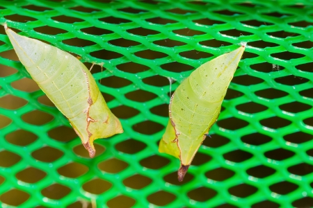 Two green pupas of Tailed Jay hanging on net Stock Photo