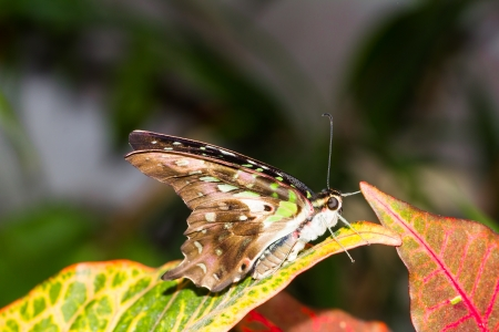 New born Tailed jay butterfly on leaf photo