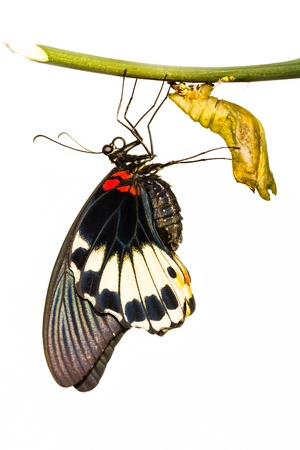 New born female great mormon butterfly hanging near pupa in white backgound