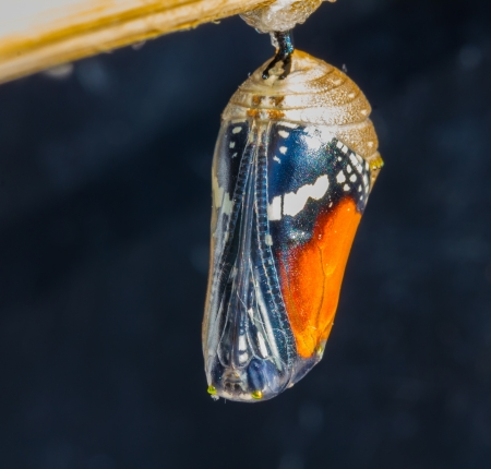 Mature stage of pupa of Plain Tiger butterfly
