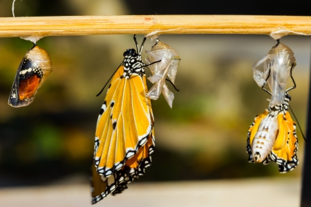 emerge: New born Plain tiger butterfly and mature pupa Stock Photo